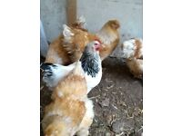 Brahma, Light Sussex, Bantam and more Chickens for sale