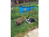 2 large male rabbits with hutch