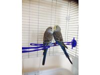 Baby budgies &cage
