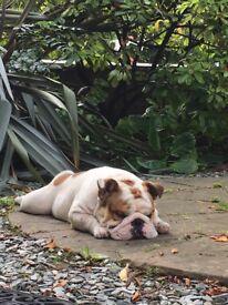 10 months British Bulldog perfect boy