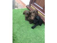 Cocker spaniels puppies
