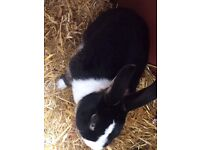 I have a 17 month old male rabbit