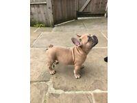 KC REG French Bulldog - last pup left!!