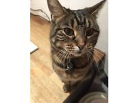 Missing female cat - Pickle