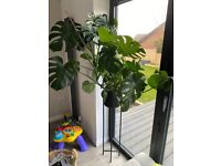 Large Grown Indoor Monstera Plant and Stand