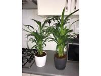 SOLD - 2 x Areca Palm Lutescens - House/Office Live Indoor Pot Plant Tree in 13cm Pots