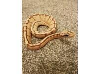 Baby royal pythons