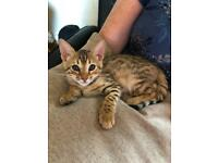 Full Pedigree Bengal girl kitten 8 weeks