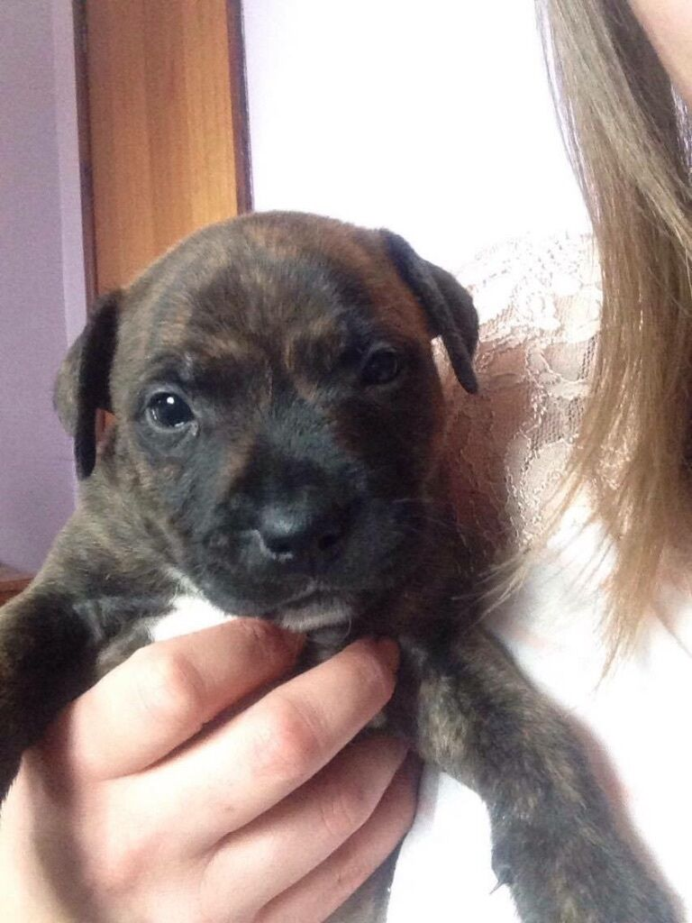Staffordshire bull terrier X dog de Bordeaux puppies | in Leighton ... | Border Terrier Puppies In Bedfordshire