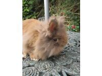 1 buck Lionhead Rabbit ready to go to a 5* home