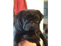 Pug Pedigree - Black - beautiful - lovely - good with kids of all ages