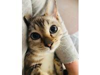 Full Bengal Kitten for Sale Male