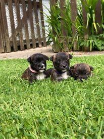 Beautiful Scottie russell puppies