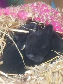 Netherlands Dwarf x Lionhead bunnies ready for new homes
