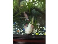 Axolotl for sale, perfect health just needs a good home ideally without fish.