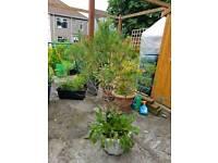 Pine tree (free)