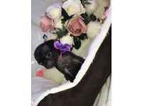 Kc registered pink carrier pug puppies