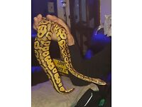 Male and Female Royal Pythons for sale