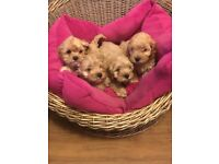 American cockerpoo puppies