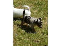Gorgeous Jack Russell X chihuahua puppies for sale