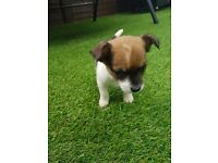 2 stunning tiny chihuahua cross jack Russell puppies