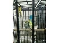 2 Budgies for sale wiv CAGE