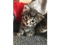 One male kitten left