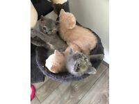 British shorthair pedigree beatifull cream and blue kittens
