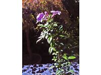PANDORA JASMINOIDES a beautiful exotic flowering plant can be grown as a vine or bush house plant.