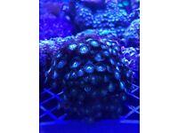 zoas marine salt water corals fish tank aquarium