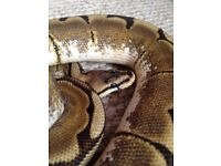 Male spider ball python & full set up inc extras