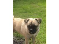 Pug cross, jug girl 20 month old £280