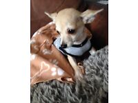 Chihuahua 5-6 months Microchiped-Injections