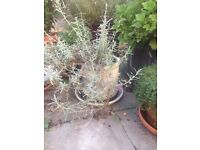 Bay Plant, Creeping thyme, Rosemary, Lavendar