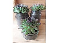 Succulents - sempervivum, house leek, hens and chicks. Juveniles and adult plants available