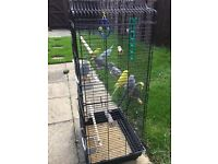 8 budgies inc cage and stand