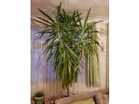 Huge healthy yucca plant for home