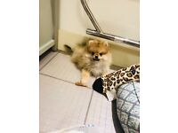 Adorable orange sable miniature Pomeranian boy