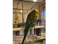 Friendly Hand-tamed green Budgie with cage, food, toys & more