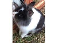 Pure bread Netherland Dwarf rabbit