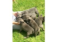 Kc registered blue French bulldog puppies for sale
