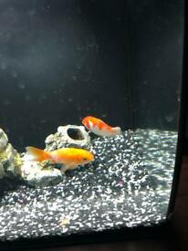 Fluval Fle..2 gold fish