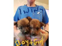 Beautiful Pomeranian cross chinese crested puppies