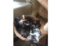 8 wk old female kittens