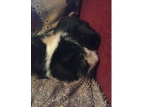 2 males guniea pigs, one short one long haired. Must go as a pair,