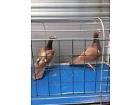 Pigeons for sale