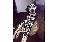 Perfect female dalmatian