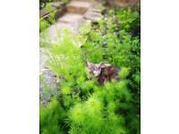 Main coon tabby kitten
