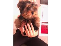 Lovely Yorkshire Terrier mini size girl