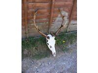 Pair of Vintage Taxidermy Red Fallow Sika Deer Stag Antlers Skull Hunting Trophy